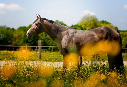 Elevage chevaux Baisieux
